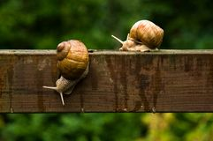 Caracóis grandes do escargot na barra de madeira na chuva imagem de stock