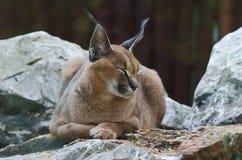 caracal动物园 免版税库存照片