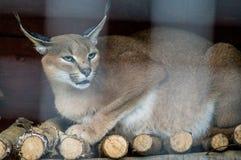 Caracal在俄国动物园里 免版税库存照片