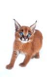 Caracal小猫 免版税库存照片