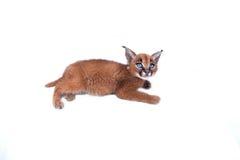 Caracal小猫 图库摄影