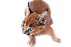 Caracal小猫 免版税图库摄影