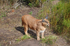 caracal猫 库存照片