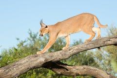 Caracal, África do Sul, andando em um ramo de árvore foto de stock royalty free