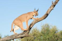 Caracal, África do Sul, rosnando no ramo de árvore foto de stock royalty free