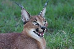 caracal портрет lynx Стоковые Изображения RF