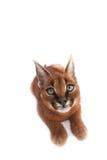 Caracal年轻人猫 图库摄影