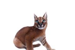 Caracal年轻人猫 库存照片