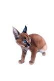 Caracal年轻人猫 库存图片