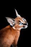 Caracal年轻猫画象 免版税库存照片