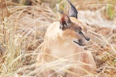 Caracal Fotografie Stock
