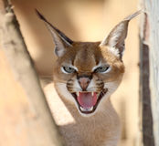 Caracal Photo stock