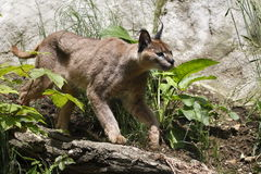 caracal Royaltyfria Foton