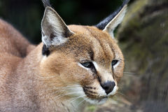 Caracal Stockbilder