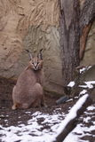 Caracal Stockbild