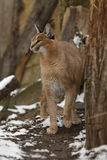 Caracal. The caracal in the winter forest Stock Image