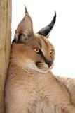 caracal猫 库存图片