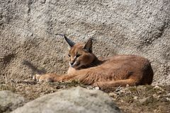 Caracal Stock Photo