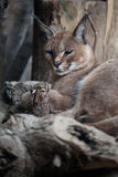 Caracal. A caracal in beijing zoo Stock Photo