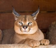 Caracal Stockfotografie
