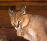 Caracal Photos stock