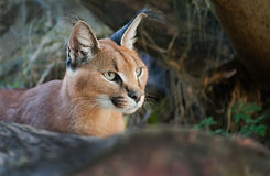 Caracal Royalty Free Stock Images