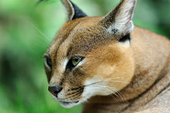 Caracal Stock Image