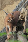 Caracal Photographie stock