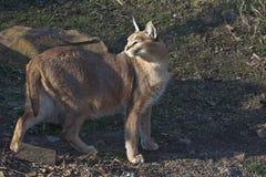 caracal Стоковое Фото