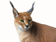 Caracal. African wild cat Isolated on white Royalty Free Stock Images