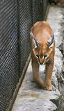 Caracal. In the zoo Royalty Free Stock Photo