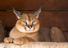 Caracal Royaltyfri Bild