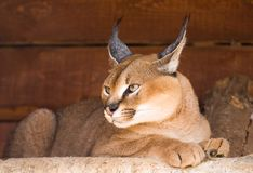 Caracal Fotos de Stock