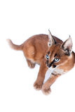 Caracal年轻人猫 免版税图库摄影