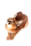 Caracal年轻人猫 免版税库存照片