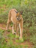 Caracal 38 Photos libres de droits