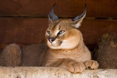 Caracal Imagem de Stock Royalty Free
