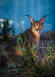 Caracal Lizenzfreie Stockfotos
