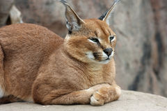 Caracal. Laying on rock and staring at something Royalty Free Stock Photography