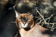 Caracal Immagine Stock
