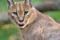 Caracal (African Lynx) cat. A Caracal or African Lynx (Caracal caracal) licks it's lip after dining. The caracal is a medium sized wild cat Stock Image