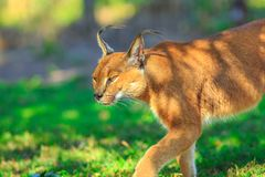 Caracal African Lynx stock photo