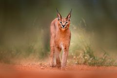 Caracal, African lynx, in green grass vegetation. Beautiful wild cat in nature habitat, Botswana, South Africa. Animal face to fac. E walking on gravel road royalty free stock photo