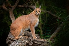Caracal, African lynx, on the tree vegetation. Beautiful wild cat in nature habitat, Botswana, South Africa.Wildlife scene from stock photography