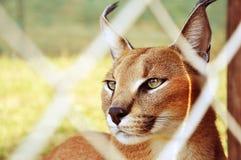 Caracal, Afrique du Sud Photographie stock