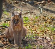 Caracal also know as African golden Cat stock photography