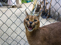 Caracal. Angry caracal cat in object photoshoot Stock Image