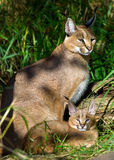 Caracal with baby royalty free stock image
