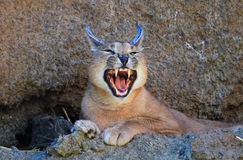 Caracal Baring Teeth Stock Photo