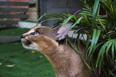 Caracal. Beautiful caracall cat in object photoshoot Stock Photos